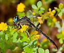 Lilypad Clubtail (male) - Arigomphus furcifer - male