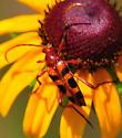 Beetle - Strangalia sexnotata