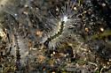 Fuzzy caterpillar  - Hyphantria cunea