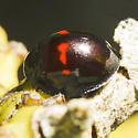 Chilocorus bipustulatus? - Chilocorus bipustulatus