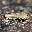 Micro Moth. Phyllonorycter ssp. - Phyllonorycter olivaeformis