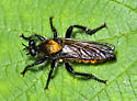 Fly sp. - Laphria
