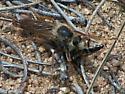 Robber fly with prey - Stenopogon inquinatus - male