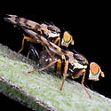 Mating Flies With Stripped Wings - Urophora jaceana