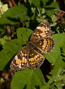 Crescent Butterfly - Chlosyne nycteis