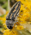 Acmaeodera pubiventris lanata ? - Acmaeodera pubiventris