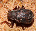 Tiny Beetle in Leaf Litter - Xanthonia