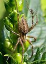 Spider  - Agelenopsis