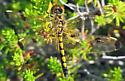 Calico Pennant - Celithemis elisa - female