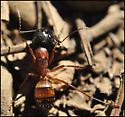 Some strange Ant - Camponotus semitestaceus