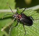 Flower Longhorn - Brachysomida bivittata