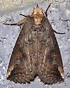 Hippia packardii - Elasmia packardii