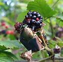 Large blackberry beetles - Cotinis nitida