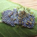 Salt Marsh Moth (Estigmene acrea)  - Estigmene acrea