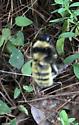 Yellow Bumblebee? Near Atlanta, GA - Bombus pensylvanicus