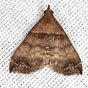 Ambiguous Moth - Hodges #8393 - Lascoria ambigualis