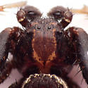 Xysticus - Xysticus montanensis - male
