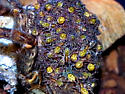 Tigrosa grandis With Eggsac - Tigrosa grandis