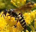 Wasp - Myzinum quinquecinctum - female