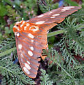Citheronia regalis - Regal Moth - Hodges#7706 - Citheronia regalis