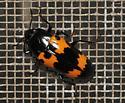 Red and black beetle - Megalodacne heros