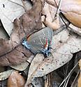 Satyrium favonius favonius - Satyrium favonius - male