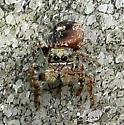 Jumping Spider - Phidippus purpuratus