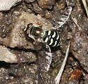 Sand Wasp Mimic - Eupeodes volucris