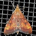 Moth - Pyrausta californicalis
