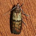 Indian Meal Moth - Plodia interpunctella