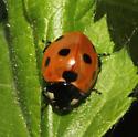 Coccinellidae - Coccinella septempunctata