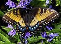 Unusual Female Tiger Swallowtail - Papilio glaucus - female