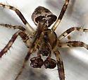 Small OrbWeaver - Araneus corticarius - male