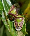 Hemiptera on Ceanothus - Banasa dimidiata