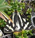 Black and White Moth - Parasemia plantaginis - male