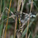 Cordulegaster obliqua - Arrowhead Spiketail - Cordulegaster obliqua - male