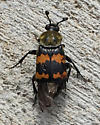 beetle092917 - Nicrophorus tomentosus