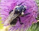 Large Bee - Bombus