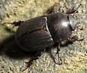 Dark Scarab - Euetheola rugiceps