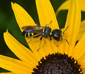 wasp on black-eyed susan - Ectemnius maculosus