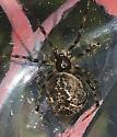 Cobweb spider found in shed