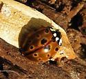 Ladybug - Anatis mali