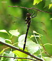 Really big dragonfly - Macromia illinoiensis