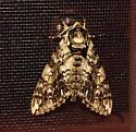 What kind of moth is this? - Ceratomia undulosa
