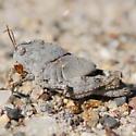 Grasshopper nymph - Dissosteira carolina - female