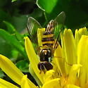 Syrphid fly - Allograpta obliqua
