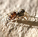 jumping spider - Naphrys pulex