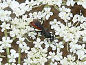 Pompilid Wasp - Priocnemis notha