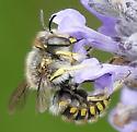 Pollinator - Anthidium manicatum - male