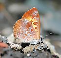 Harvester - Feniseca tarquinius